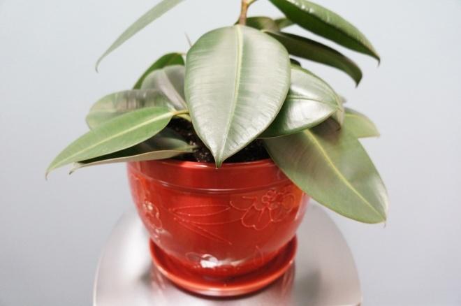 Leah's Rubber Plant