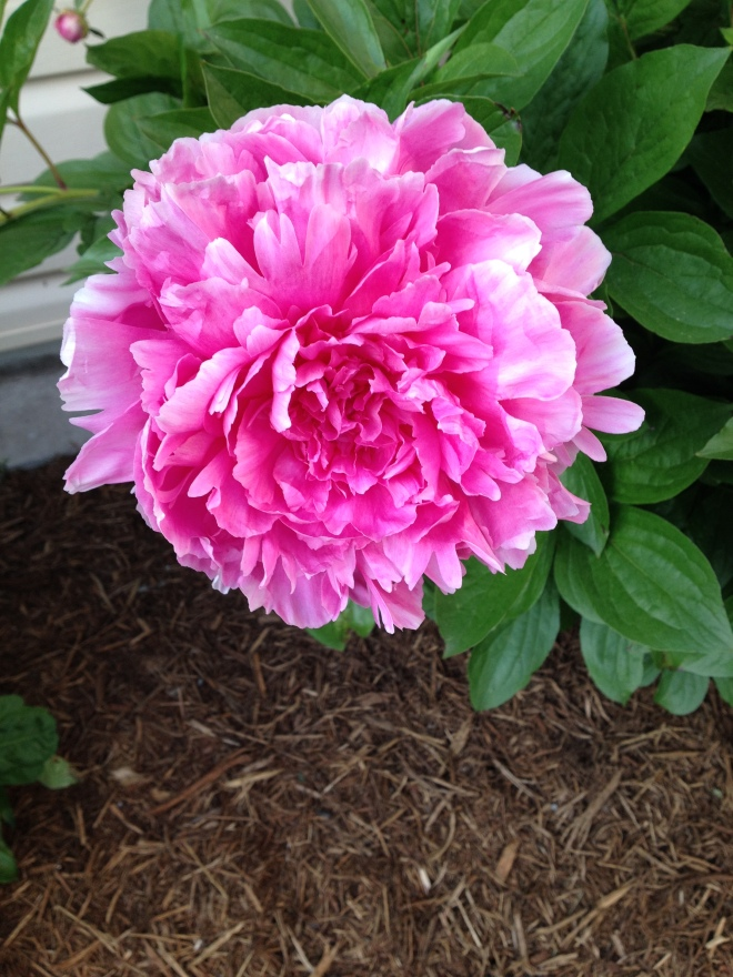 The Dads' Peonies